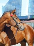 trevlig blå häst för bakgrundsfjärd royaltyfri bild