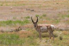 Trevlig bock för Pronghorn antilop Royaltyfri Fotografi