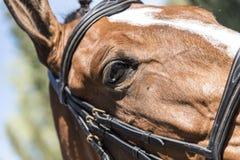 Trevlig brun hästögonnärbild arkivfoto
