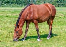 Trevlig brun häst som äter gräs royaltyfri fotografi