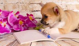Trevlig chihuahuavalp som ligger på en anteckningsbok royaltyfri foto