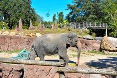 Trevlig elefant som går atTampafjärdområde arkivbild