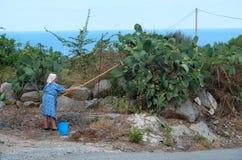 Trevlig gammal dam som samlar de taggiga päronen från trädet Royaltyfri Foto