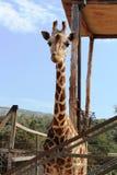 Trevlig giraff i en zoo royaltyfri bild