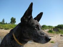 Trevlig grå hund på naturen Arkivfoton