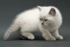 Trevlig gullig brittisk kattunge Arkivbild