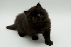Trevlig gullig svart brittisk kattunge Arkivfoto