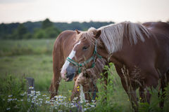 Trevlig häst i Québec, Kanada arkivbilder