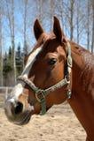 trevlig hästmare Arkivbild