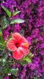 Trevlig hibiskusblomma fotografering för bildbyråer