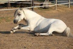Trevlig hästrullning Arkivbilder
