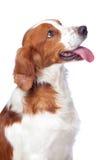 trevlig hundjakt Fotografering för Bildbyråer