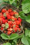 trevlig jordgubbe arkivbilder