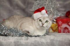 Trevlig jul Burmilla framme av gåvor Arkivbilder