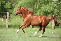 Trevlig kastanjebrun arabisk hästspring i paddock Arkivbilder