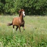 Trevlig kastanjebrun hästspring på äng Royaltyfria Foton