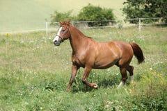 Trevlig kastanjebrun hästspring på äng Royaltyfri Bild
