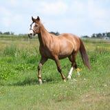 Trevlig kastanjebrun hästspring på äng Arkivbilder