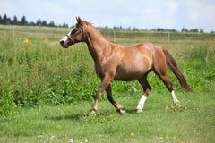 Trevlig kastanjebrun hästspring på äng Fotografering för Bildbyråer