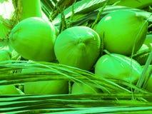 Trevlig kokosnöt på trädet med bladet Arkivbild
