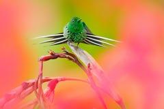 Trevlig kolibrigräsplanTagg-svans, Discosura conversii med suddiga rosa färger och röda blommor i bakgrund, La Paz, Costa Rica Ko royaltyfria foton