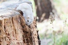 Trevlig liten hamster i löst Liten gullig hamster royaltyfri fotografi