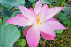 Trevlig lotusblomma på fältet Fotografering för Bildbyråer