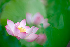 Trevlig lotusblommablomma med grön bakgrund Arkivfoto