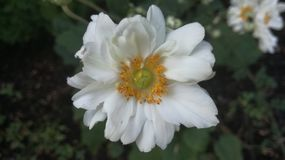 Trevlig natur för blommavit mycket royaltyfria foton