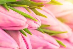 Trevlig naturlig bukett från rosa tulpan som en romantisk bakgrund Selektivt fokusera täta rosa tulpan upp Rosa tulpan fjädrar bl Arkivfoto