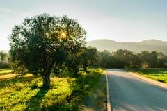 Trevlig olivträd bredvid en stenlagd landsväg i en beautifu arkivbild