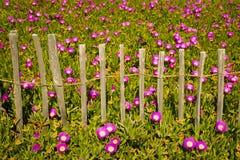 Trevlig purpurfärgad blommaträdgård bredvid stranden Royaltyfri Fotografi