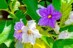 Trevlig purpurfärgad lös aubergine blommar att blomma arkivfoton