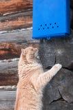 Trevlig röd katt som väntar på bokstaven under den ljusa blåa brevlådan på bakgrunden av träväggen Royaltyfri Bild