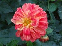 Trevlig röd krysantemum Royaltyfri Foto