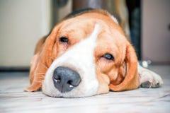 Trevlig sömn för beaglehundpojke Fotografering för Bildbyråer
