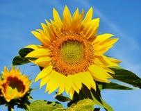 Trevlig solros Arkivbild