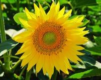 Trevlig solros Royaltyfri Foto