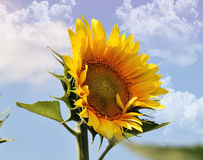 Trevlig solros Arkivfoto