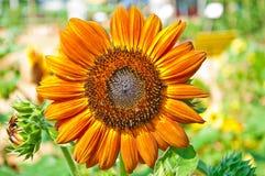 Trevlig solros i otta Royaltyfri Bild