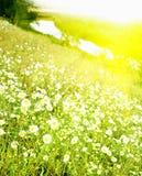 trevlig sommar för camomiles Royaltyfria Bilder