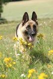 Trevlig spring för hund för tysk herde Royaltyfri Foto