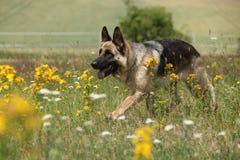 Trevlig spring för hund för tysk herde Royaltyfria Foton