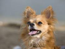 trevlig ståendered för chihuahua Royaltyfri Foto