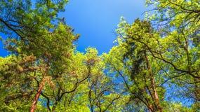 Trevlig trädkrona på bakgrunden den blåa himlen Royaltyfri Fotografi