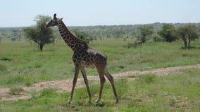 Trevlig ung giraff som går på Savannah With Bushes And Thorns i Afrika stock video