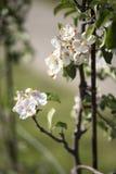 Trevlig vit äppleblomning Royaltyfria Bilder