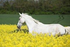 Trevlig vit furioso spring i rapsfröfält Royaltyfria Bilder