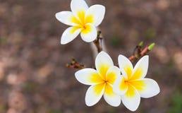 Trevlig vit plumeria i naturbakgrund Arkivfoto
