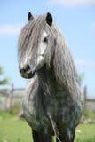 Trevlig welsh ponny på betesmark Arkivbilder